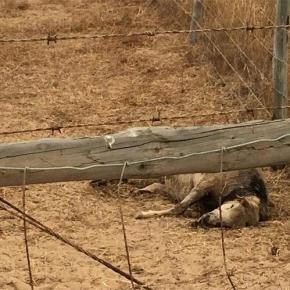 Dez ovelhas mortas por matilha decães