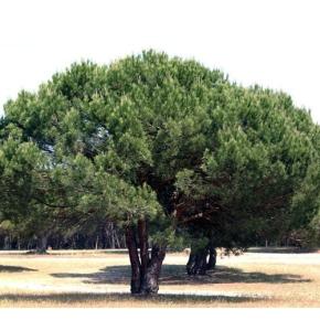Vitor Proença quer medidas do Governo para praga do pinheiromanso