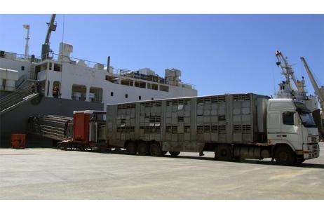 Esta foi a primeira vez que se embarcou num navio em Portugal esta quantidade de gado vivo tendo em vista a exportação |Foto: APS|