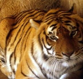 Primeira cirurgia em Portugal a um tigre emcativeiro