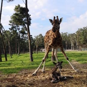 Girafa de Rothschild é o novo residente do Badoca SafariPark