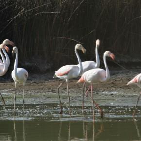 Colónia de flamingos na Lagoa deMelides