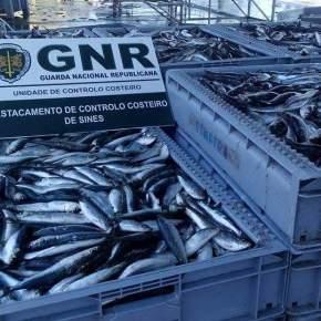 GNR apreende 600 quilos de sardinha na lota deSines
