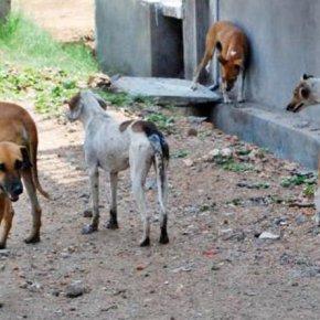 Matilhas de cães vadios aumentam emSines